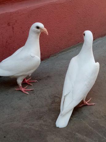 Vând porumbei