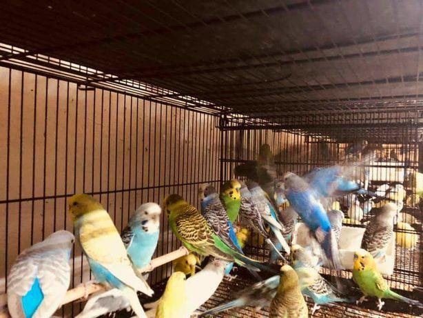Волнистый попугай, есть красивые цвета