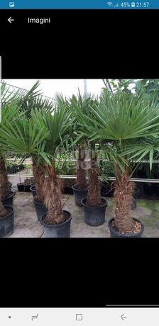 Vindem palmieri de mai multe dimensiuni ce rezistă la -20grade