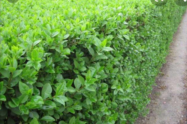 Gard viu, plante ornamentale, tuia, magnolia, catalpa.