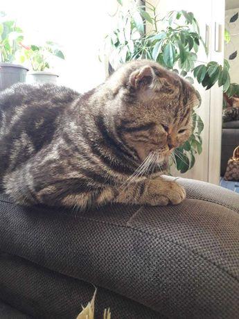 Продам шотландскую вислоухую кошку