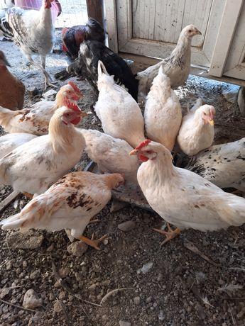 Курицы, цыплят и индюки продам всех оптом