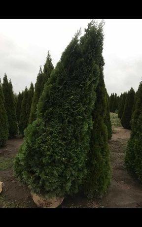 Vând plante ornamentale calitatea 1 pret producator