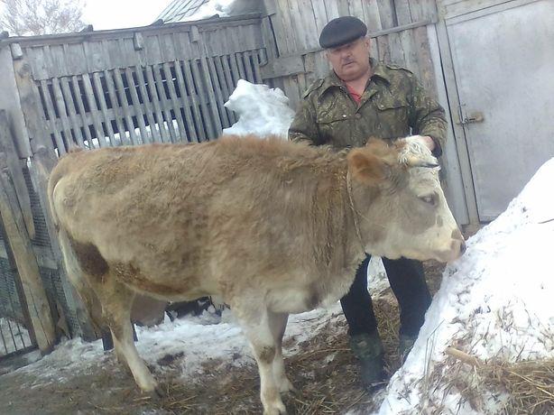 Тёлка на корову сементал