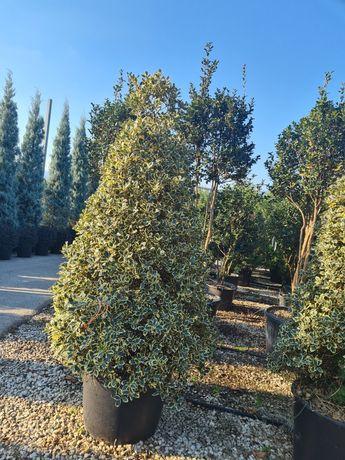 Vând plante ornamentale pentru gradina dumneavoastră