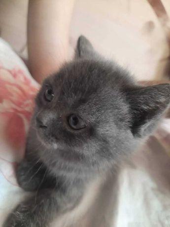 Продам шикарных котят