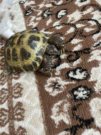 Черепаха, черепашка, сухопутная, среднеазиатская