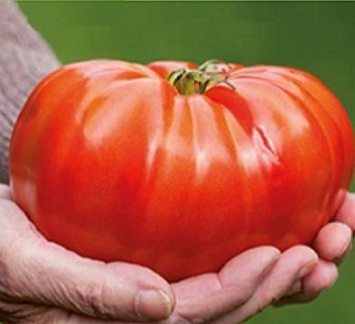 30 Seminte de Tomate Brutus - rosii gigant timpurii