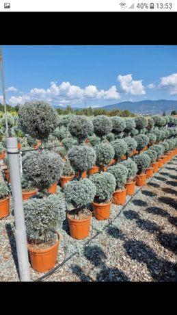 vând plante diverse calitatea 1