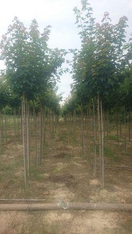 Acer platanoides globosom cu tulpina de 2,1m și circumferința de 10 14