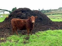 Balegar Vaca, Mranita ,Ingrasamant