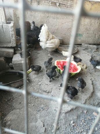 Домашний цыплята под квочки там разние пароде