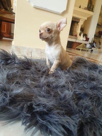 Chihuahua cu pedigree