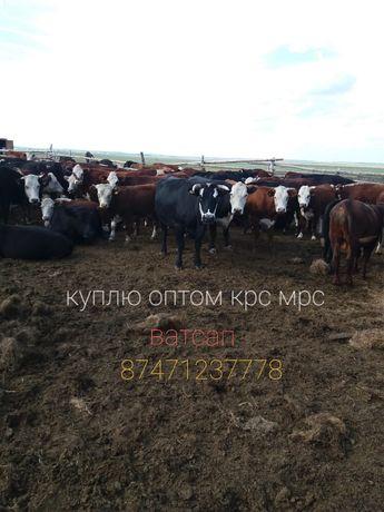 Коров телок быков оптом
