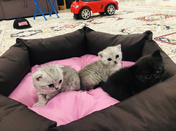 Продаются котята породистые