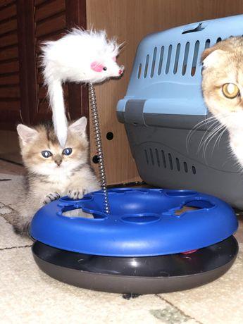 Шиншилловые игривые котята