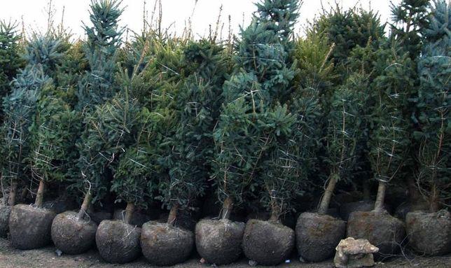 Саженцы деревья