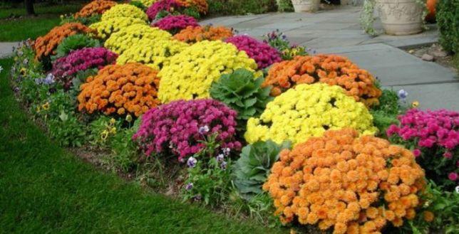 Vând crizanteme soiul multiflora și gediflora laghivece