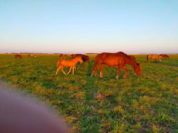 Продам лошадь с жеребенком