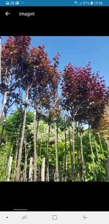 Vindem copaci .prunus .catalpa .ligustru și multi alti specii de cop
