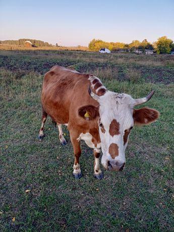 Продам корову 2 отёла