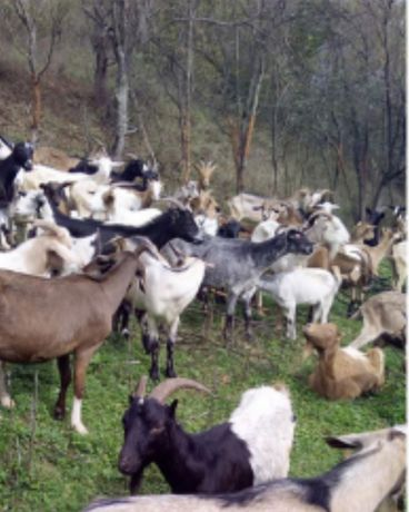 Vând capre cu iezi