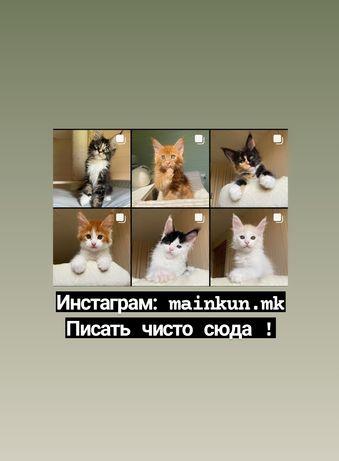 Хорошие котята Мейн Кун