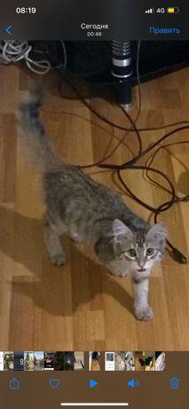 Отдам сибирскую кошку в хорошие руки