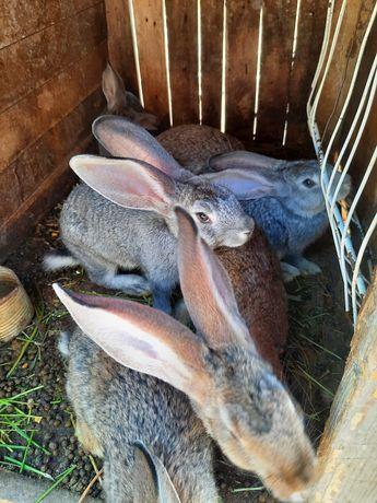 Vand iepuri preț negociabil