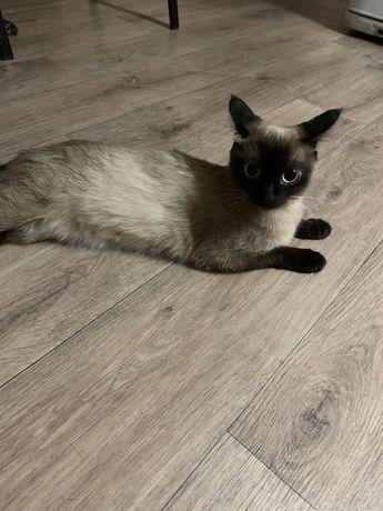 Отдам симамскую кошку