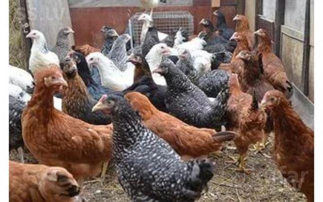 Цыплята этого года несушки