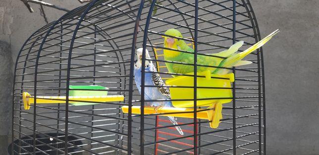 Papagali perusi-multicolori