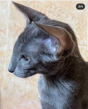Петерболд котята подростки