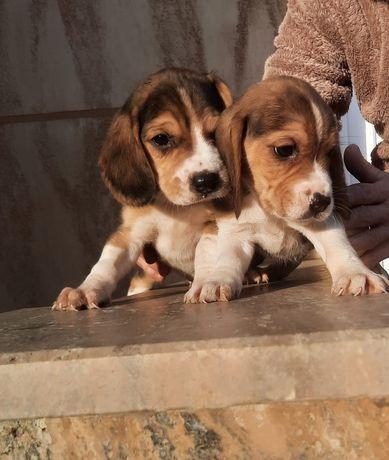 Puiuți beagle tricolori