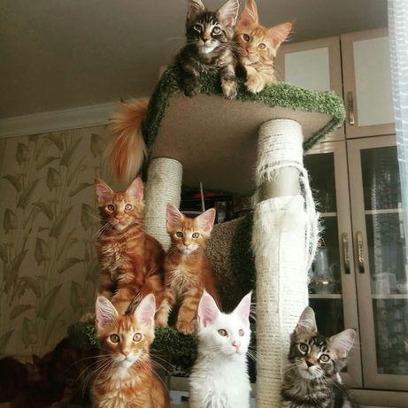 Мейн Кун котята готовы к переезду в любящие дома
