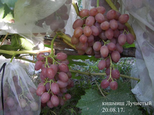 Виноград саженцы и черенки сорт кишмиш Лучистый