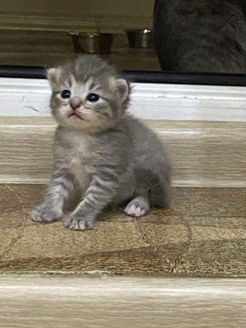 Продаются вислоухие девочки котята!