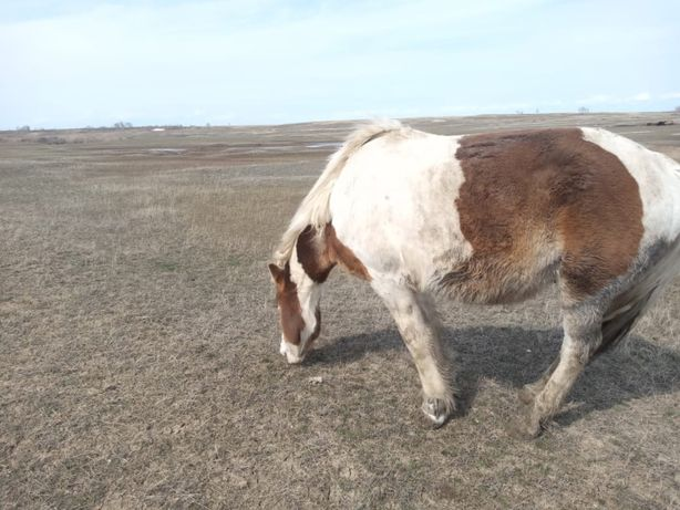 Продам Лошадь
