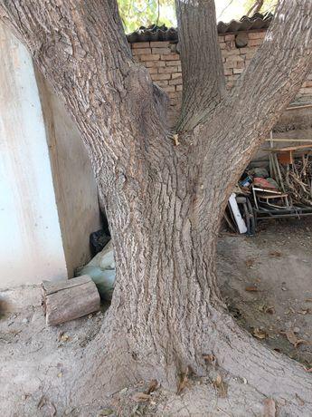 Орех дерево.  Самарез