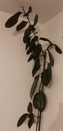 Vand Ficus 3 m inaltime