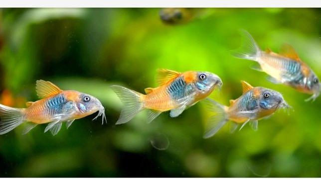 Продам аквариумную рыбку сомик коридорас Венесуэла Оранж