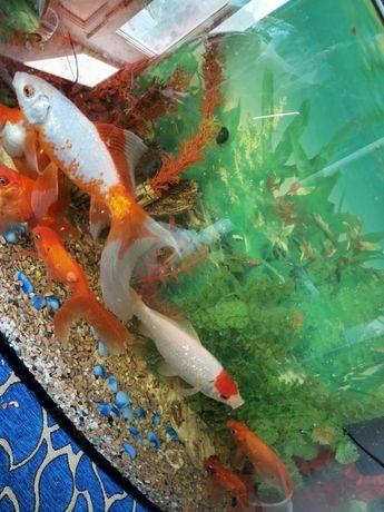 Срочна прадам Акварум с рыбками Залатой рыбкый