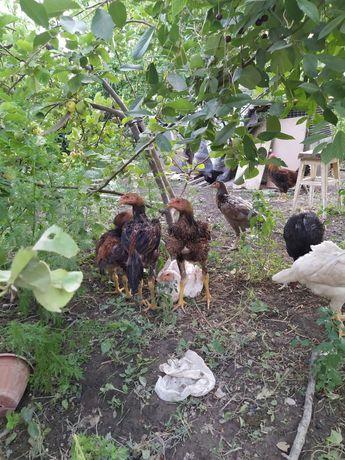 Цыплята Даканы 5-и месячные по 5000 и Петух 1 год за 8 000