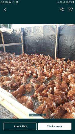 Vand găini roși mai multe detalii la tel