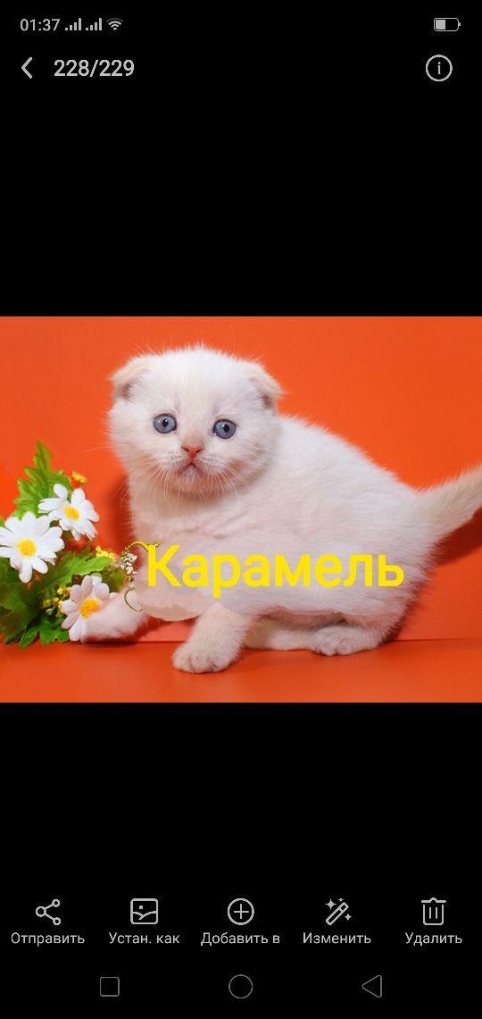 Карамель-ред-пойнт вислоухий котенок