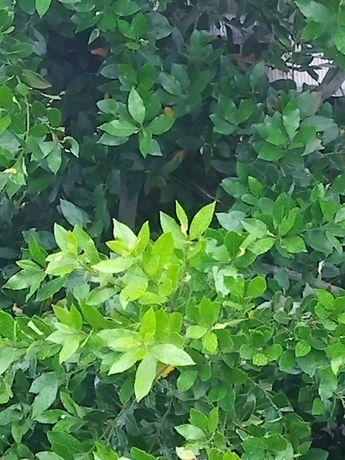 Дафинов лист, лаврово дърво пресни листа за кулинарията
