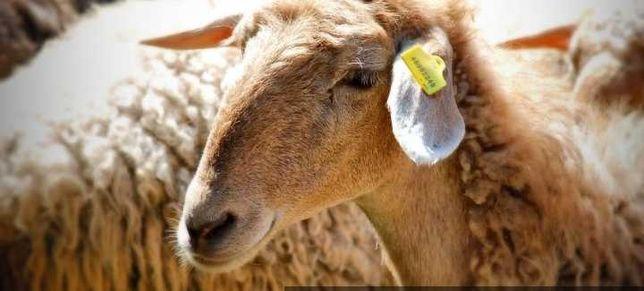 Продам Баранов овцематки