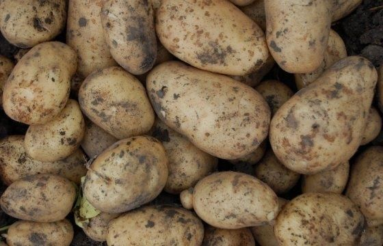 """Картофель сорт """"Гала """""""