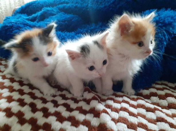 Дарим котят 1.5 мес.2 мальчика и 1 девочка.Все белые с небольшими пятн