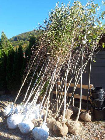 Vand mesteceni tuia brazi arginti magnoli
